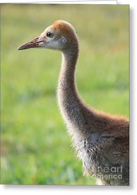 Sandhill Cranes Greeting Cards - Juvenile Sandhill Crane Profile Greeting Card by Carol Groenen