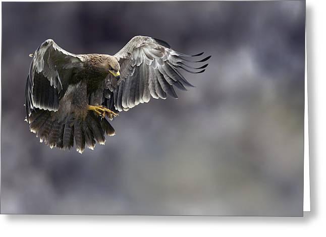 Hovering Greeting Cards - Juvenile Tawny Eagle Hunting Greeting Card by Linda Wright