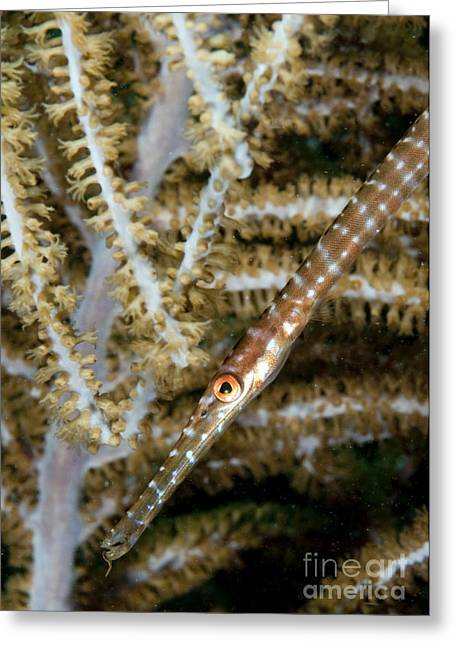 Face In Profile Greeting Cards - Juvenile Trumpetfish On Soft Coral Greeting Card by Karen Doody