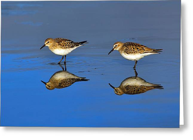 Juvenile White-rumped Sandpipers Greeting Card by Tony Beck