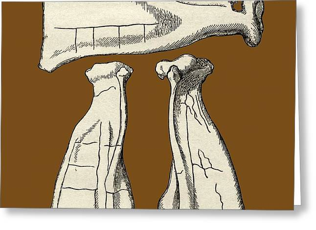 Kalmyk Bone Divination Scapulas, Artwork Greeting Card by Sheila Terry