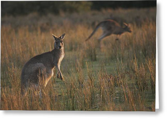 Refuges And Reserves Greeting Cards - Kangaroos In A Grassland Area Greeting Card by Sam Abell