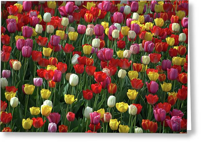 Tulip Bud Greeting Cards - Kansas Spring Tulips Greeting Card by Tim McCullough