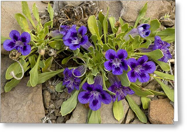 Northern Africa Greeting Cards - Karoo Violets (aptosimum Indivisum) Greeting Card by Bob Gibbons