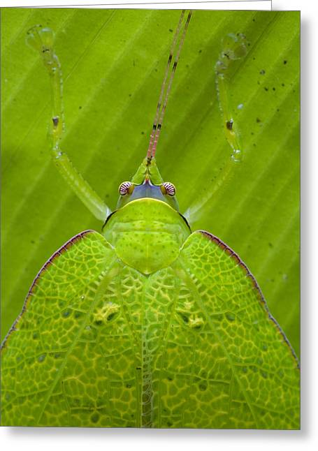 Katydid Greeting Cards - Katydid Mamang River Forest Reserve Greeting Card by Piotr Naskrecki
