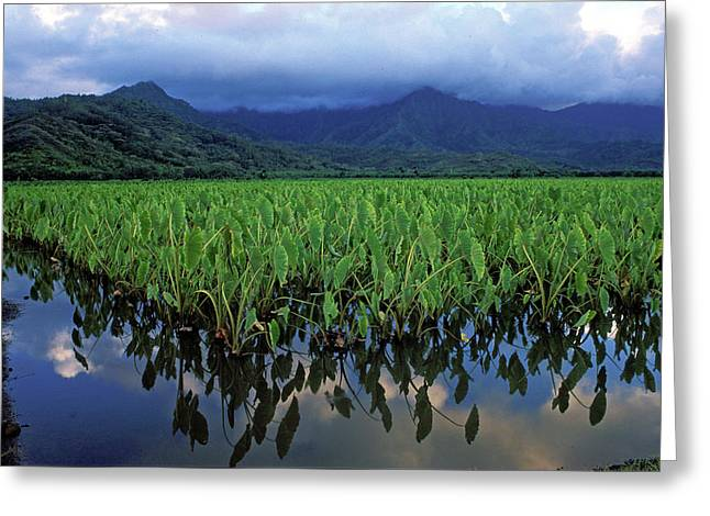 Featured Art Greeting Cards - Kauai Taro Field Greeting Card by Kathy Yates