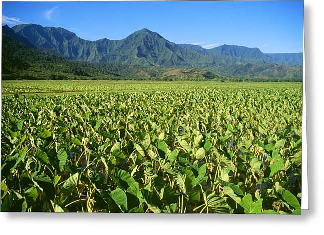 Kauai, Wet Taro Farm Greeting Card by Himani - Printscapes
