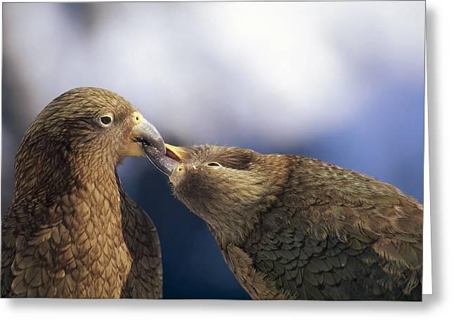 Emoting Greeting Cards - Kea Nestor Notabilis Couple Billing Greeting Card by Tui De Roy