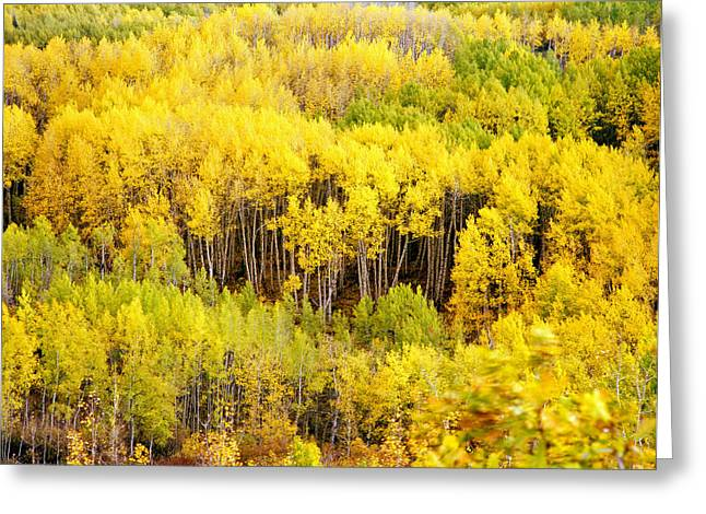 Kebler Pass Aspens Greeting Card by Mike Norton
