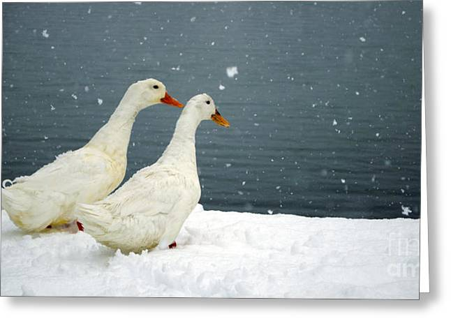 Snowstorm Posters Greeting Cards - Keep on Duckin Greeting Card by Gib Martinez