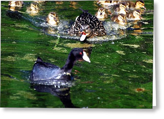 Duck Greeting Cards - Keep Your Distance Greeting Card by Don Mann