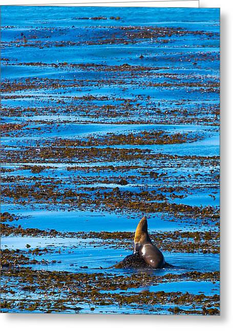California Sea Lions Greeting Cards - Kelp and Sea Lion Greeting Card by Adam Pender