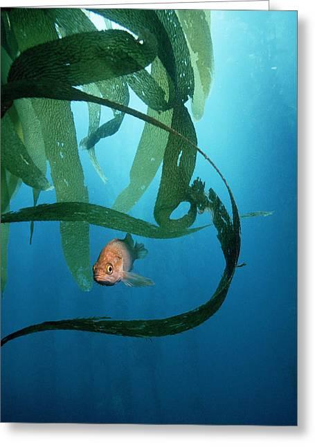 Kelp Forest Greeting Cards - Kelpfish Greeting Card by Georgette Douwma