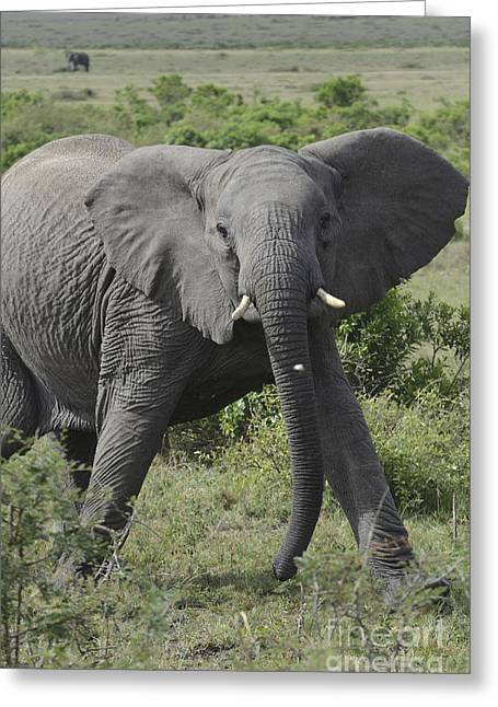 Amirp Greeting Cards - Kenya Masai Mara charging elephant  Greeting Card by Amir Paz