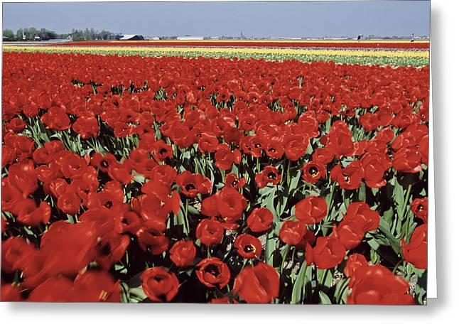 Keukenhof Gardens Greeting Cards - Keukenhof Gardens, Netherlands- Red Greeting Card by Keenpress