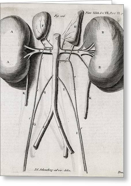 Transactions Greeting Cards - Kidney Anatomy, 18th Century Greeting Card by Middle Temple Library