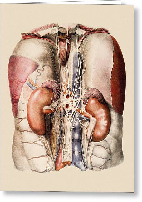 Historical Images Greeting Cards - Kidneys, Nerves And Blood Vessels Greeting Card by Mehau Kulyk