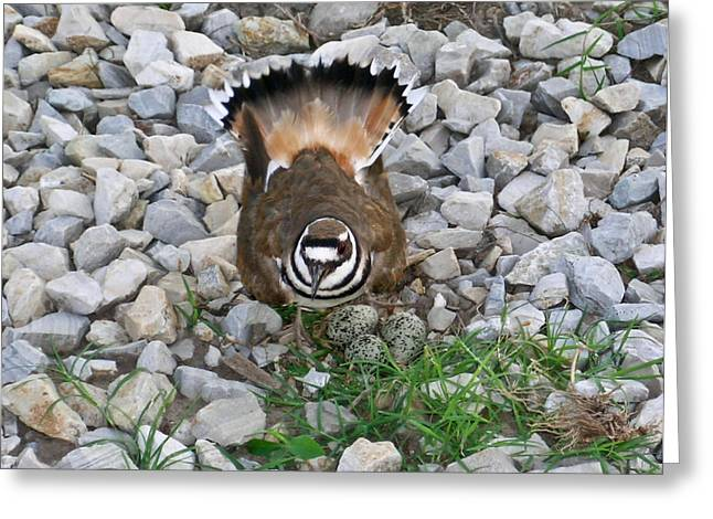 Kildeer and Nest Greeting Card by Douglas Barnett