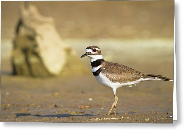 Killdeer Greeting Cards - Killdeer On the Shore Greeting Card by Steven Llorca