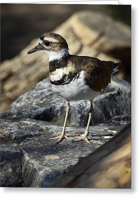 Killdeer Greeting Cards - Killdeer Greeting Card by Saija  Lehtonen