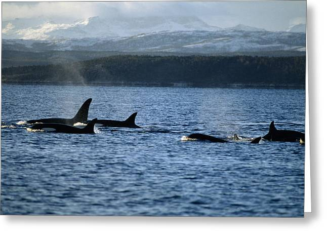 Atlantic Killer Whale Greeting Cards - Killer Whales Greeting Card by Alexis Rosenfeld
