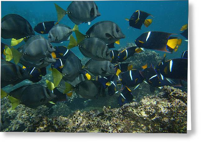 Surgeonfish Greeting Cards - King Angelfish Holacanthus Passer Greeting Card by Pete Oxford