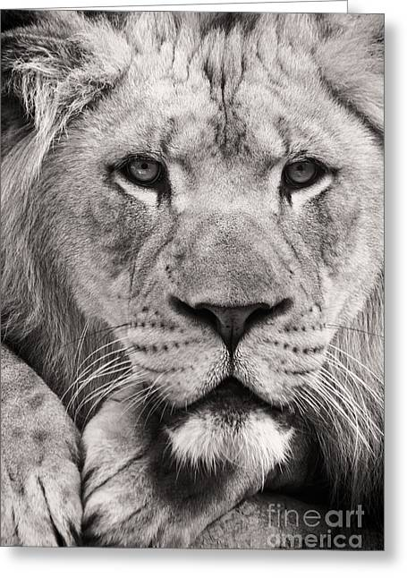 Greenville Zoo Greeting Cards - King of the Jungle Greeting Card by Dawna  Moore Photography