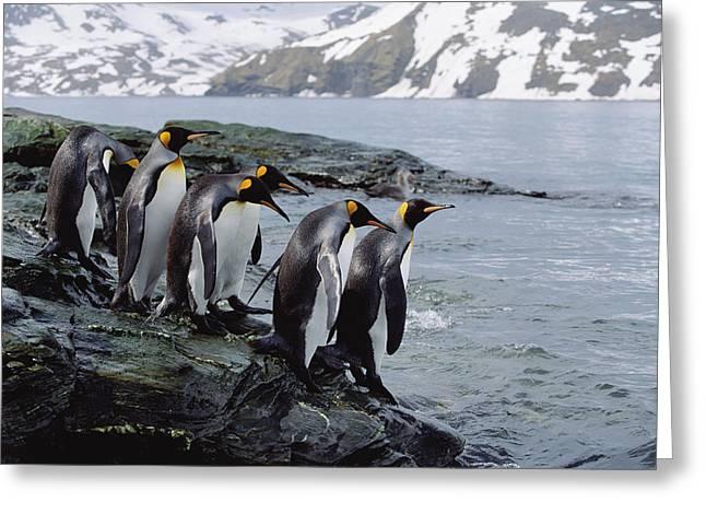 Aptenodytes Sp Greeting Cards - King Penguin Aptenodytes Patagonicus Greeting Card by Konrad Wothe