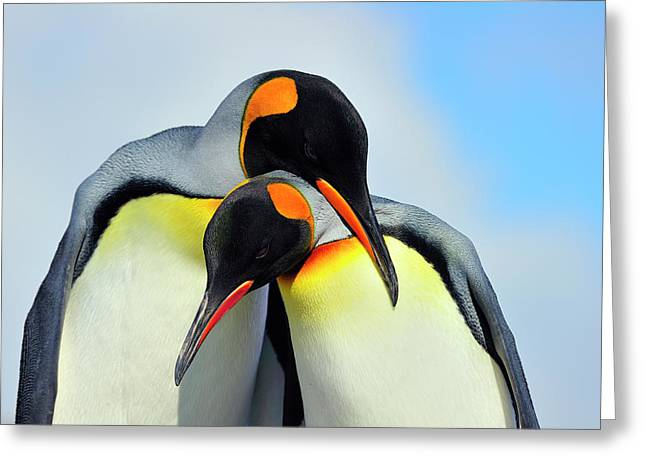 Austral Greeting Cards - King Penguin Greeting Card by Tony Beck
