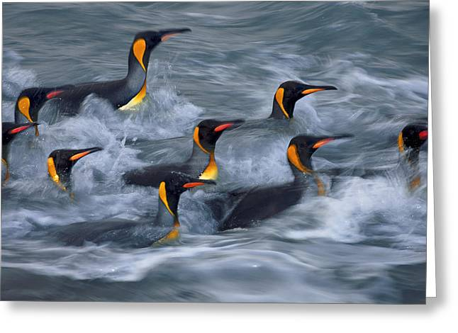 Aptenodytes Patagonicus Greeting Cards - King Penguins Rinse In The Surf Zone Greeting Card by Paul Nicklen