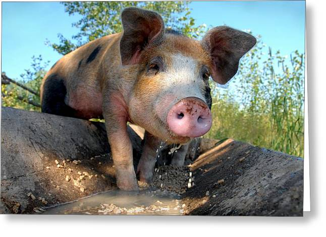 Happy Hog Greeting Cards - King Porcus of the Barking Dog Ranch Greeting Card by Bill Kellett
