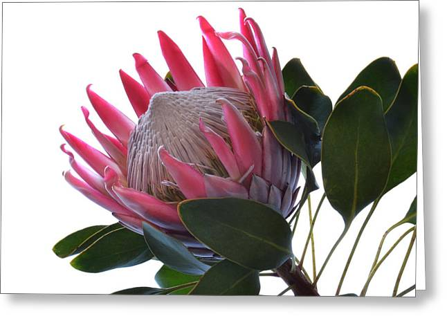 Proteas Greeting Cards - King Protea. Greeting Card by Terence Davis