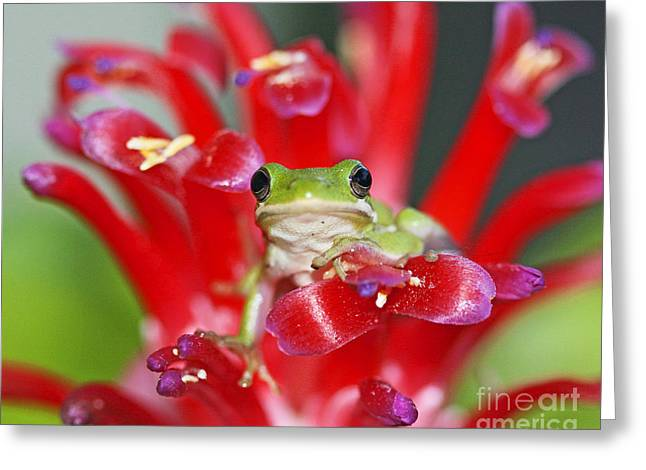 Fb Greeting Cards - Kiss a Prince Frog Greeting Card by Luana K Perez