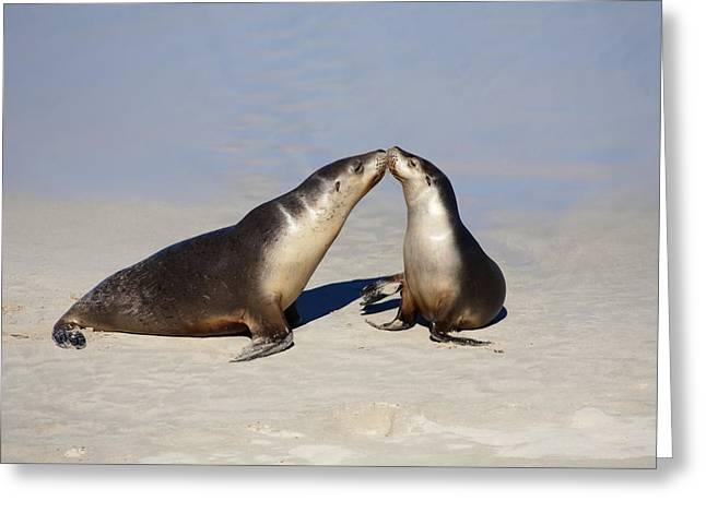 Australian Sea Lion Greeting Cards - Kiss Greeting Card by Mike  Dawson