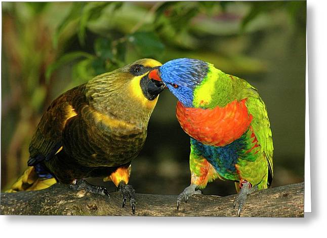 Kissing Birds Greeting Card by Carolyn Marshall