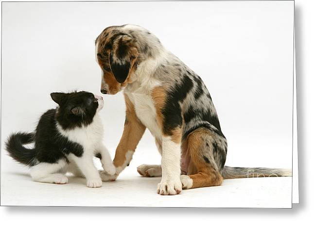 Cute Kitten Greeting Cards - Kitten And Border Collie Puppy Greeting Card by Jane Burton