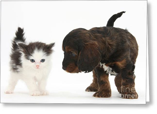 Cross Breed Greeting Cards - Kitten And Cockapoo Puppy Greeting Card by Mark Taylor