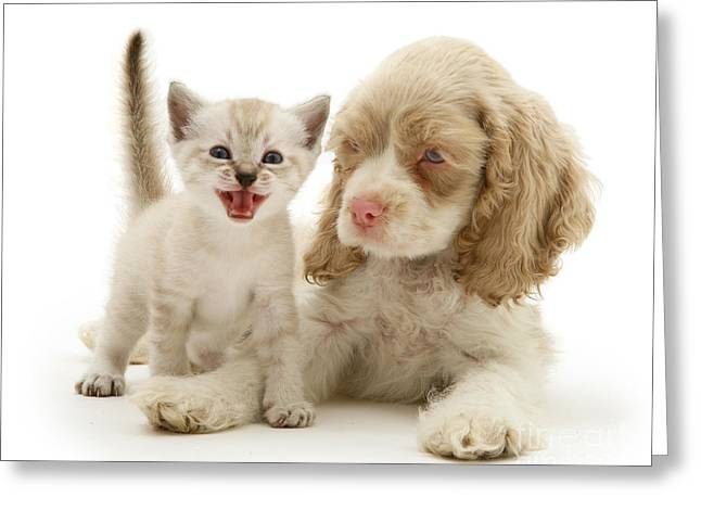 American Shorthair Greeting Cards - Kitten And Cocker Spaniel Puppy Greeting Card by Jane Burton