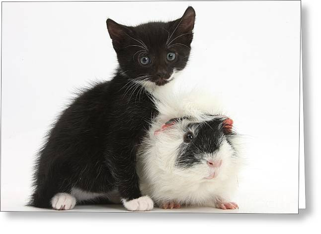 House Pet Greeting Cards - Kitten And Guinea Pig Greeting Card by Mark Taylor