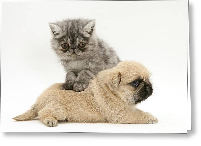 Cute Kitten Greeting Cards - Kitten And Pugzu Puppy Greeting Card by Jane Burton