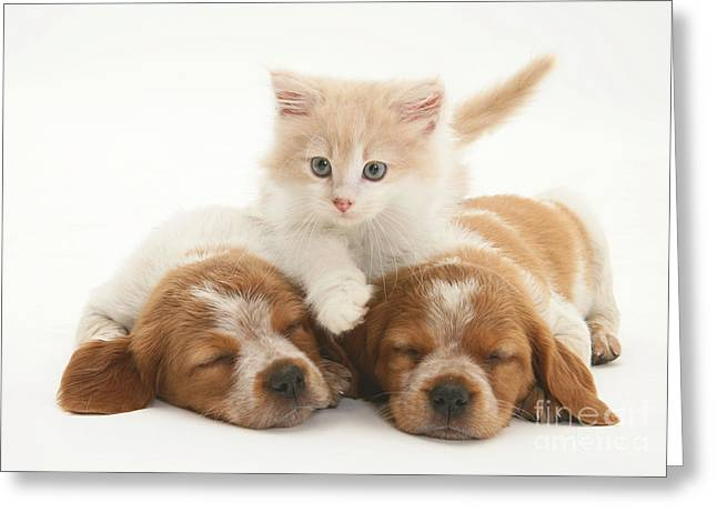 Spaniel Greeting Cards - Kitten And Puppies Greeting Card by Jane Burton
