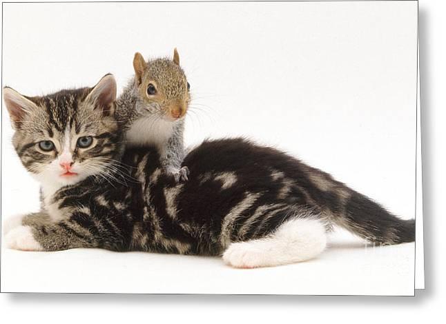Sciurus Carolinensis Greeting Cards - Kitten And Squirrel Greeting Card by Jane Burton