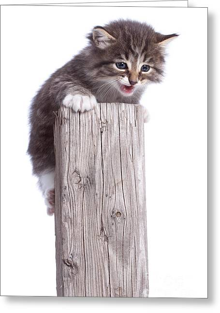 Bravery Greeting Cards - Kitten on Wooden Post Greeting Card by Cindy Singleton