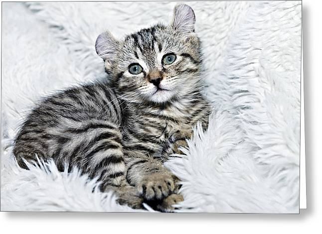 Susan Leggett Greeting Cards - Kitten Ready for Nap Greeting Card by Susan Leggett