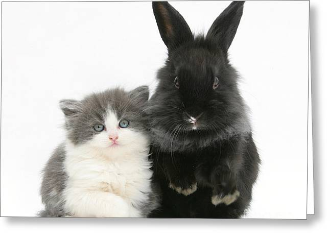 House Pet Greeting Cards - Kitten With Black Lionhead-cross Rabbit Greeting Card by Mark Taylor