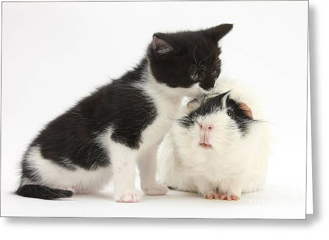 House Pet Greeting Cards - Kitten With Guinea Pig Greeting Card by Mark Taylor