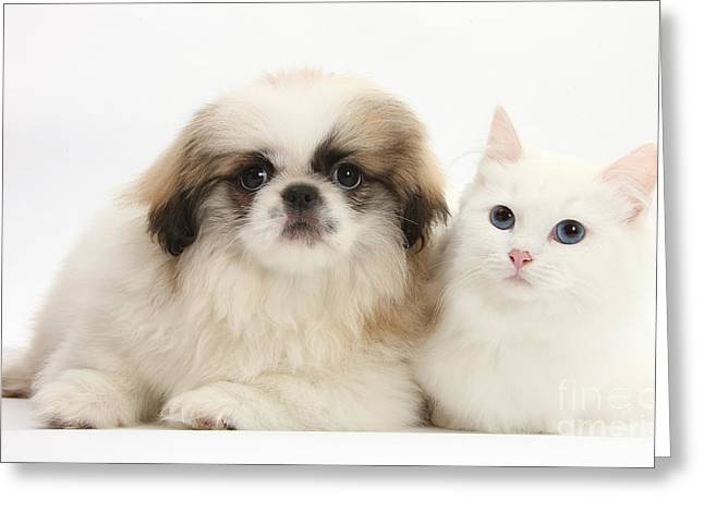 Domesticated Animal Greeting Cards - Kitten With Pekinese Puppy Greeting Card by Mark Taylor