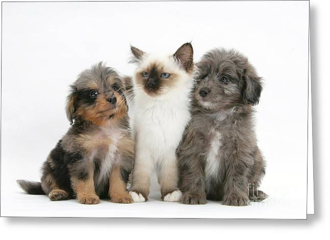 Domesticated Animal Greeting Cards - Kitten With Puppies Greeting Card by Mark Taylor