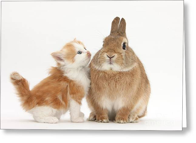 House Pet Greeting Cards - Kitten With Rabbit Greeting Card by Mark Taylor