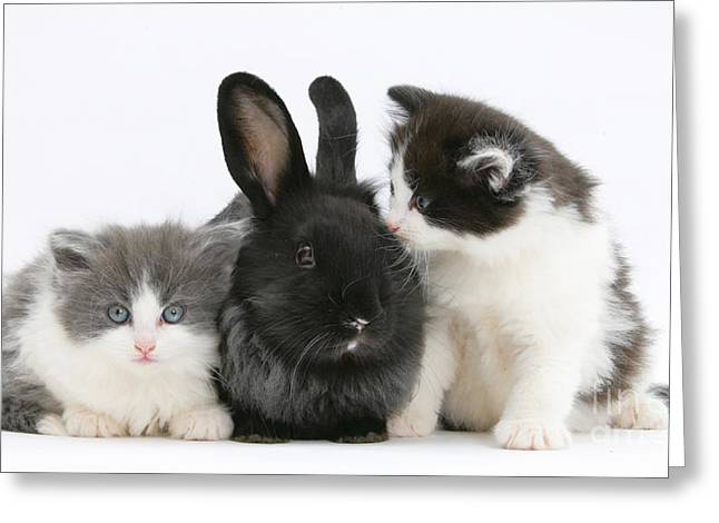 House Pet Greeting Cards - Kittens With Black Lionhead-cross Rabbit Greeting Card by Mark Taylor